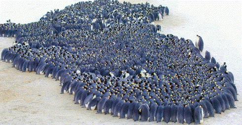 Penguins_huddling
