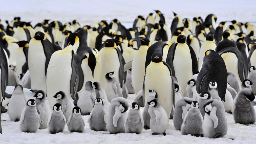 emperor-penguin-colony.ngsversion.1412630284744